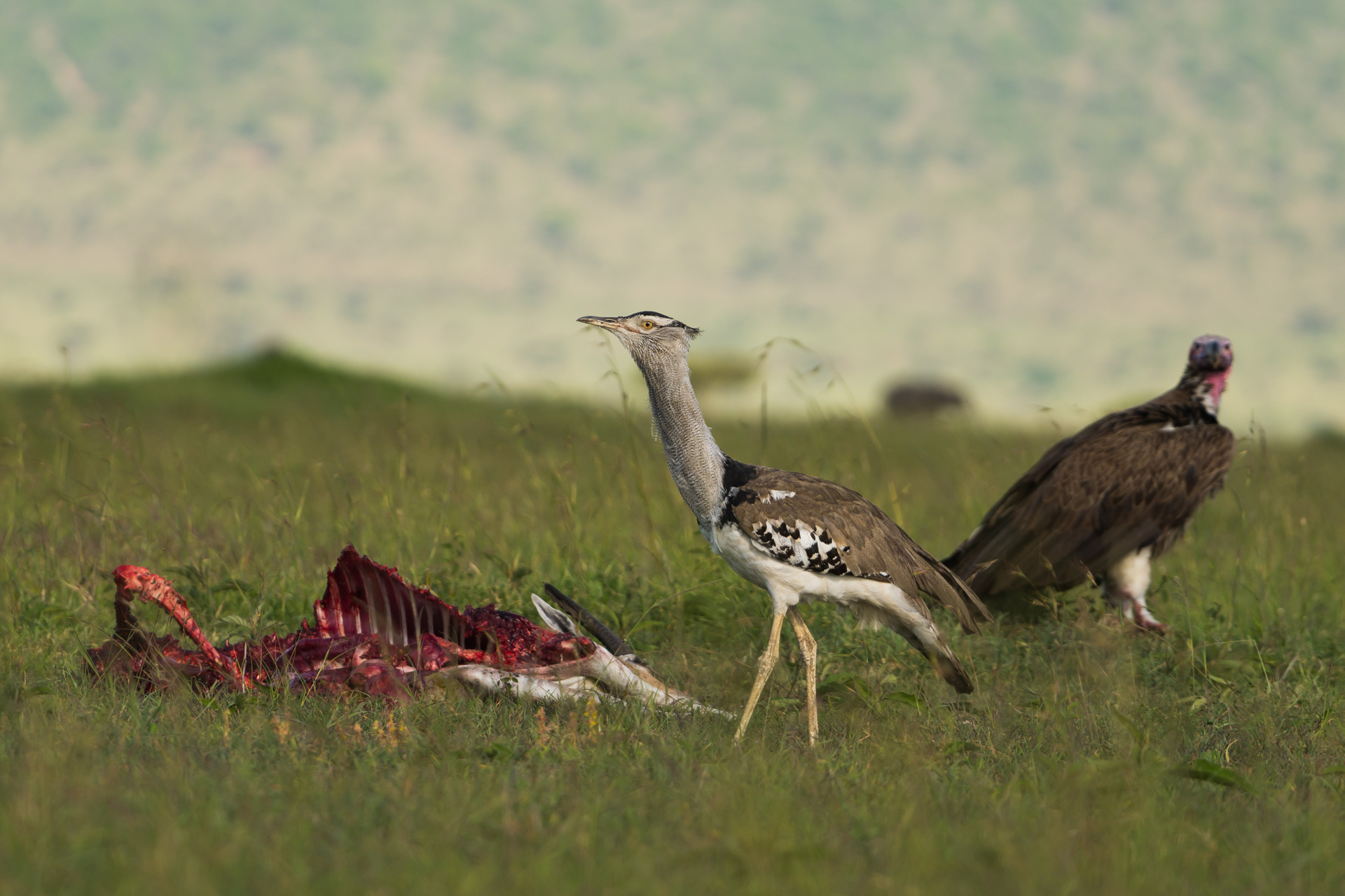 Vulture and bustard