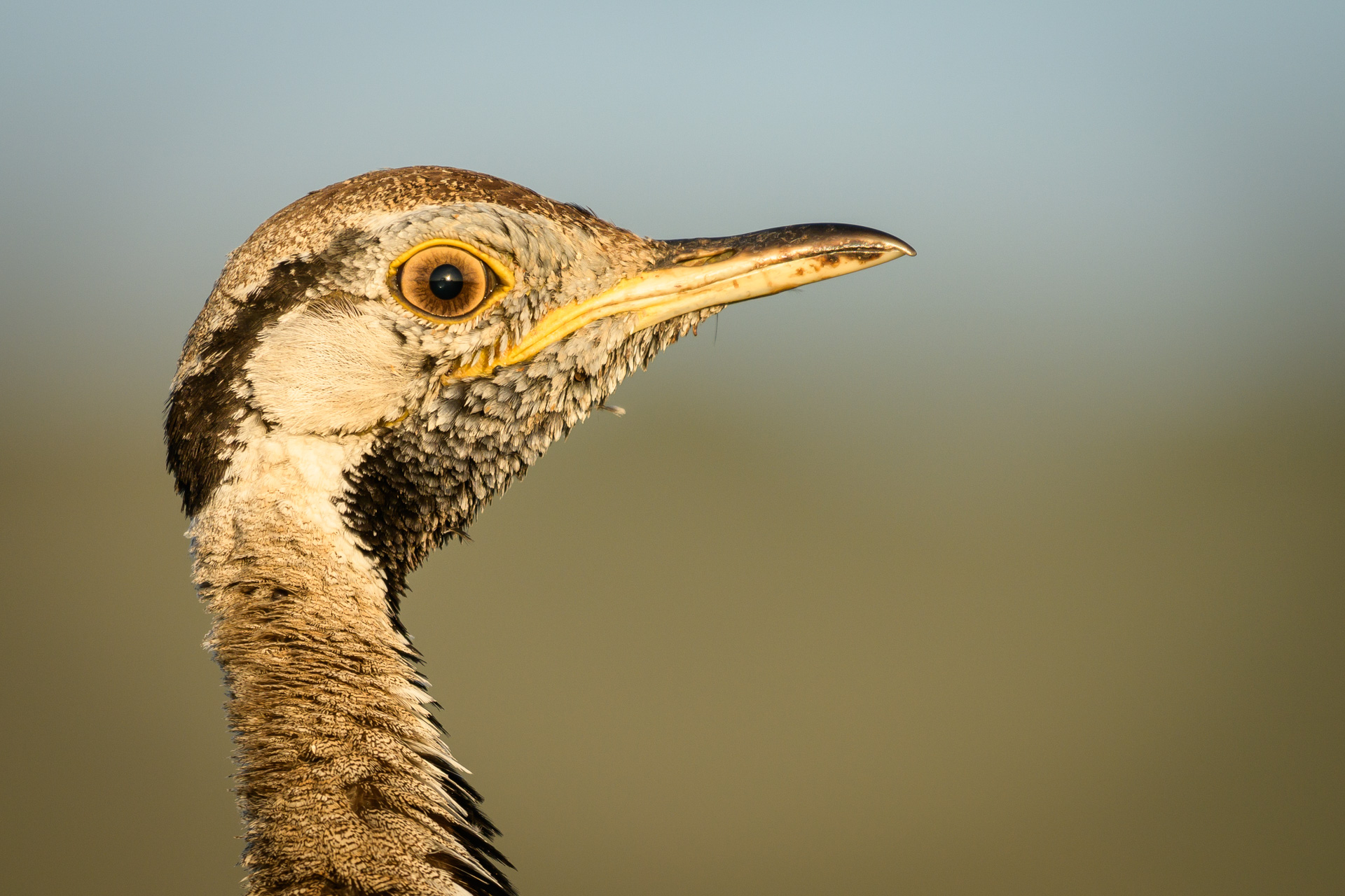 Bustard close up