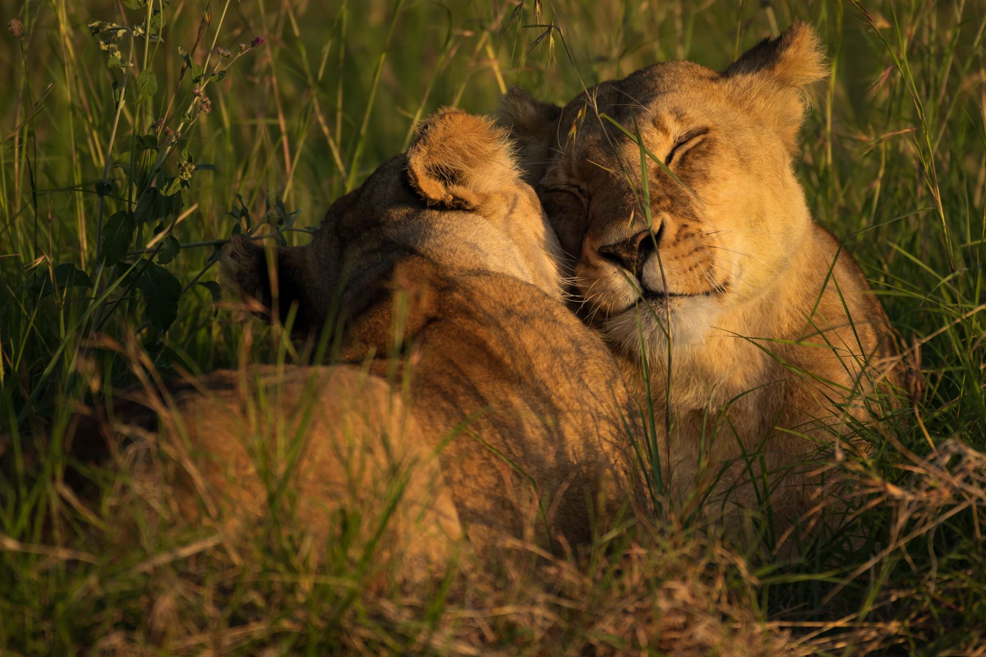 Lions cuddling