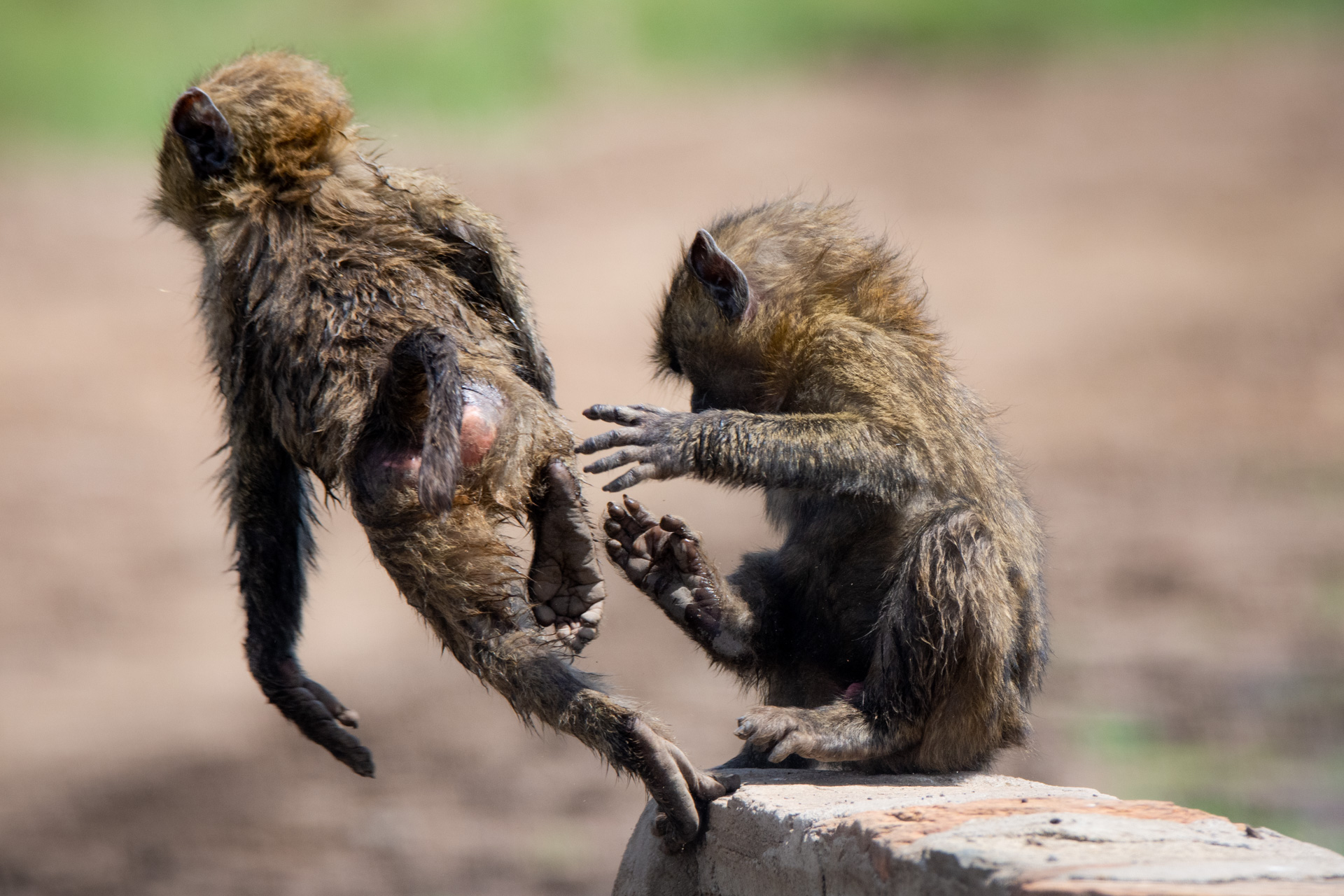 Young Baboons 2