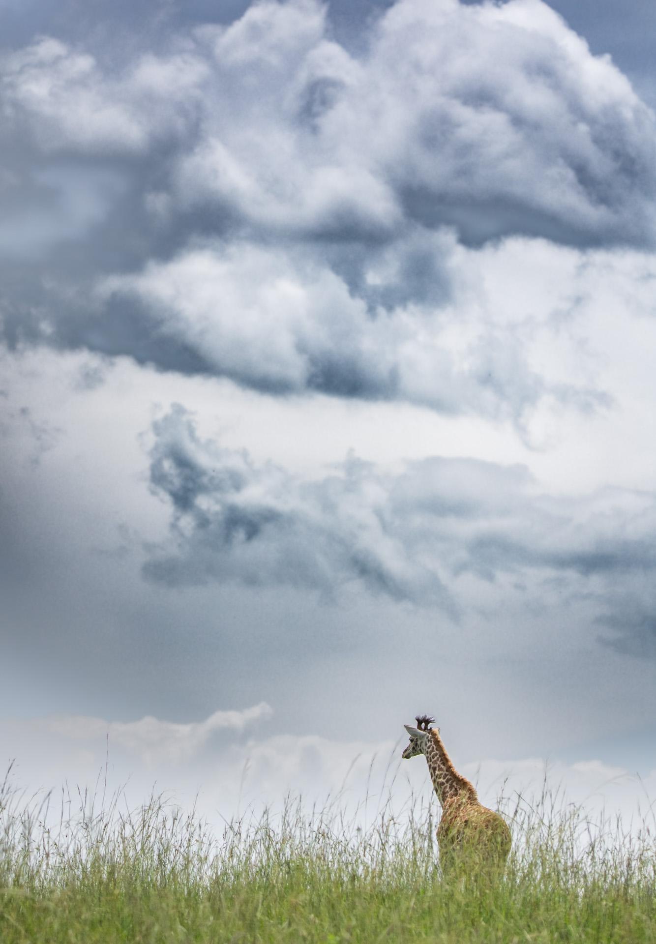 Giraffe storm