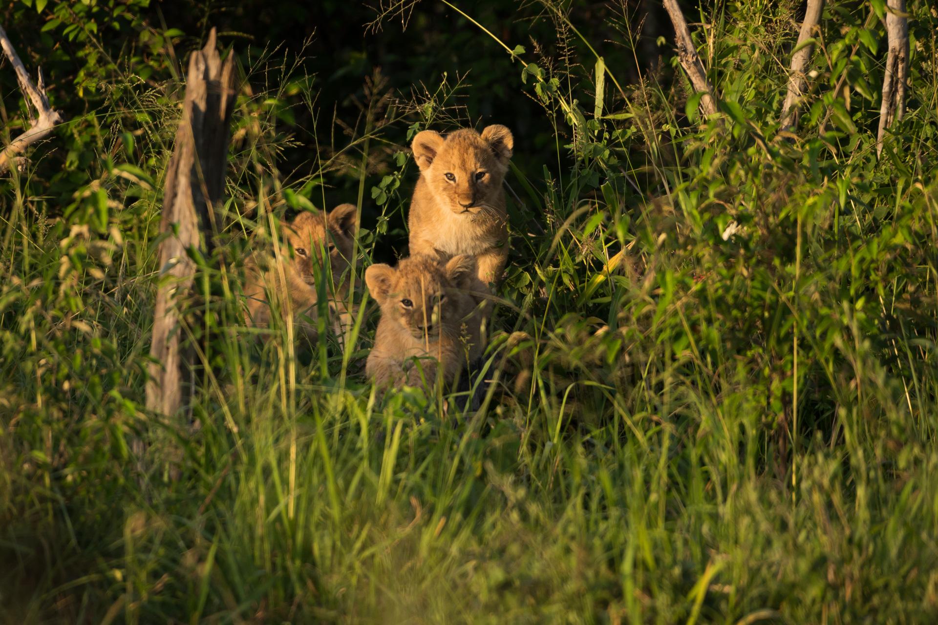 3 Lion Cubs