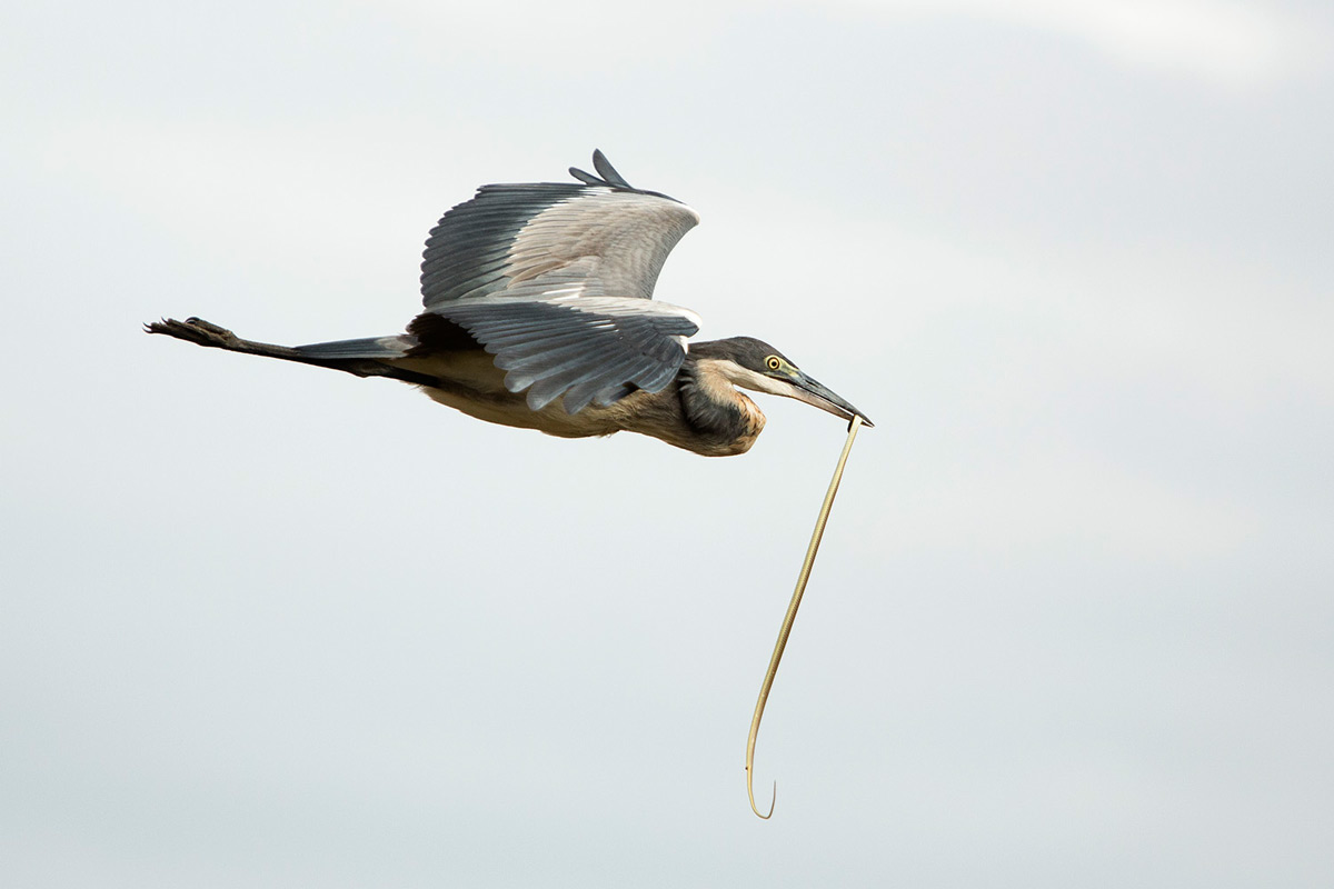 heron-and-snake-flying