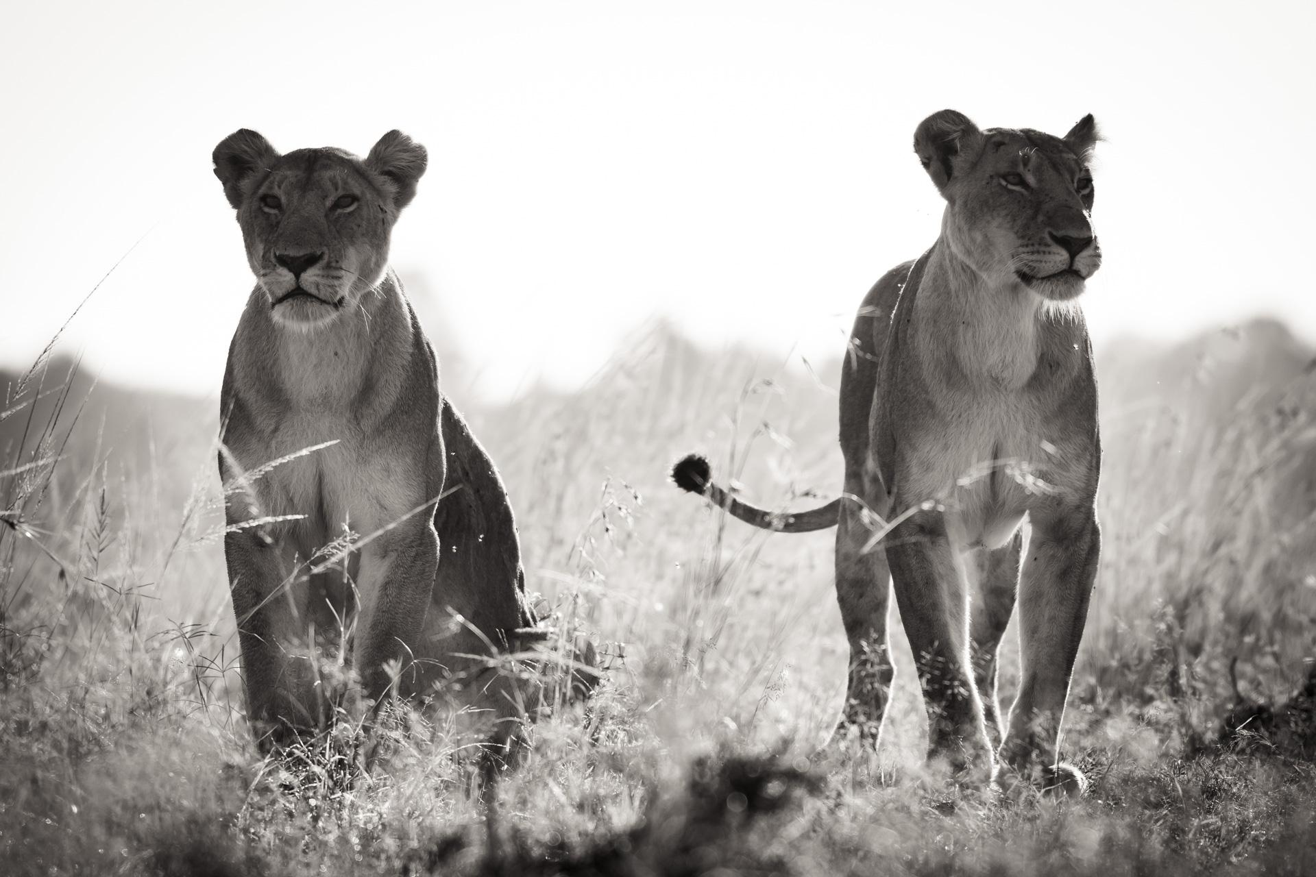 Lionesses BW