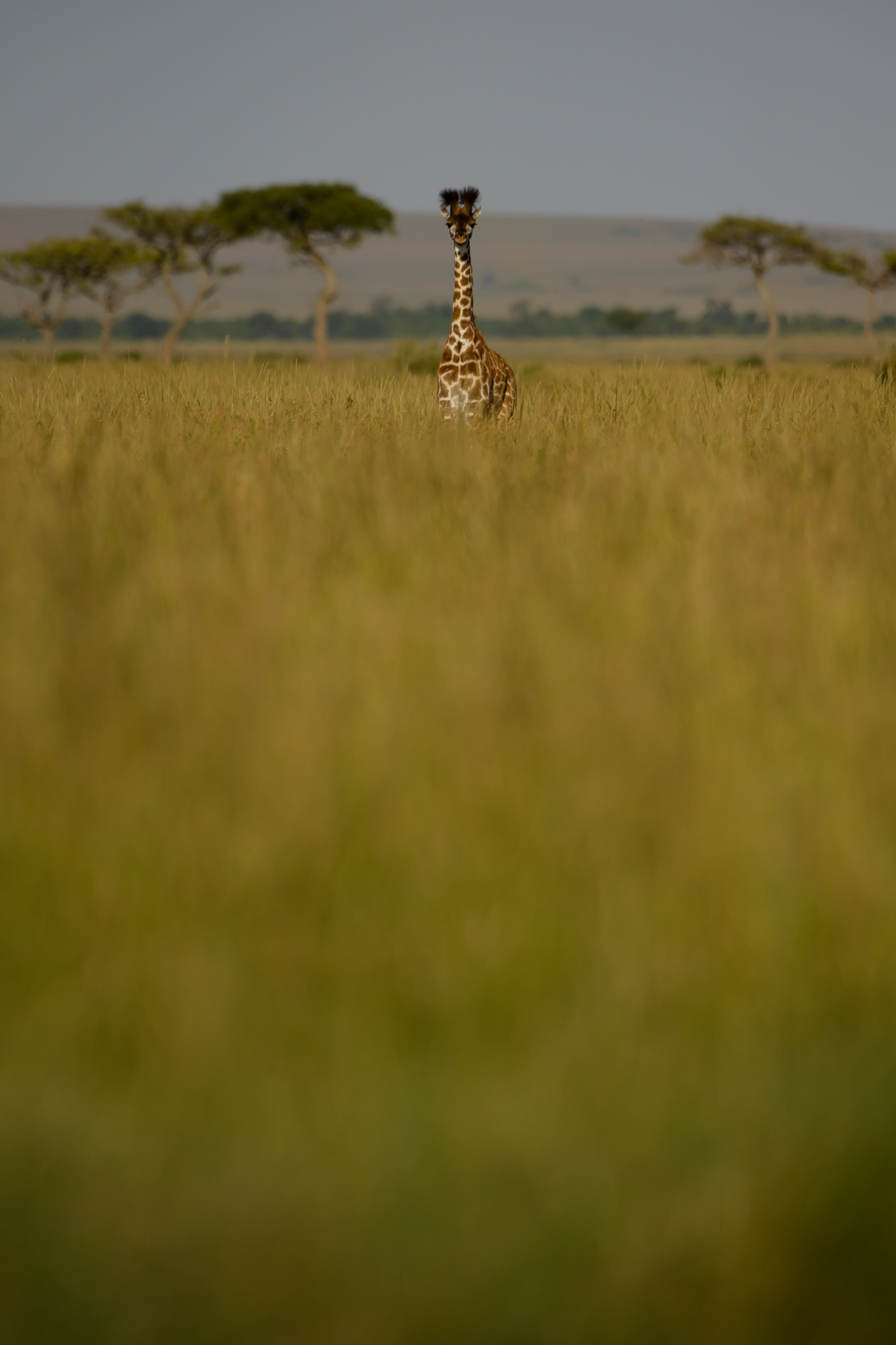 Giraffe in long grass