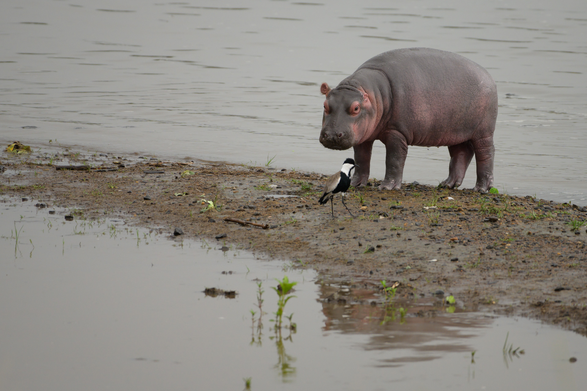 Baby hippo and bird