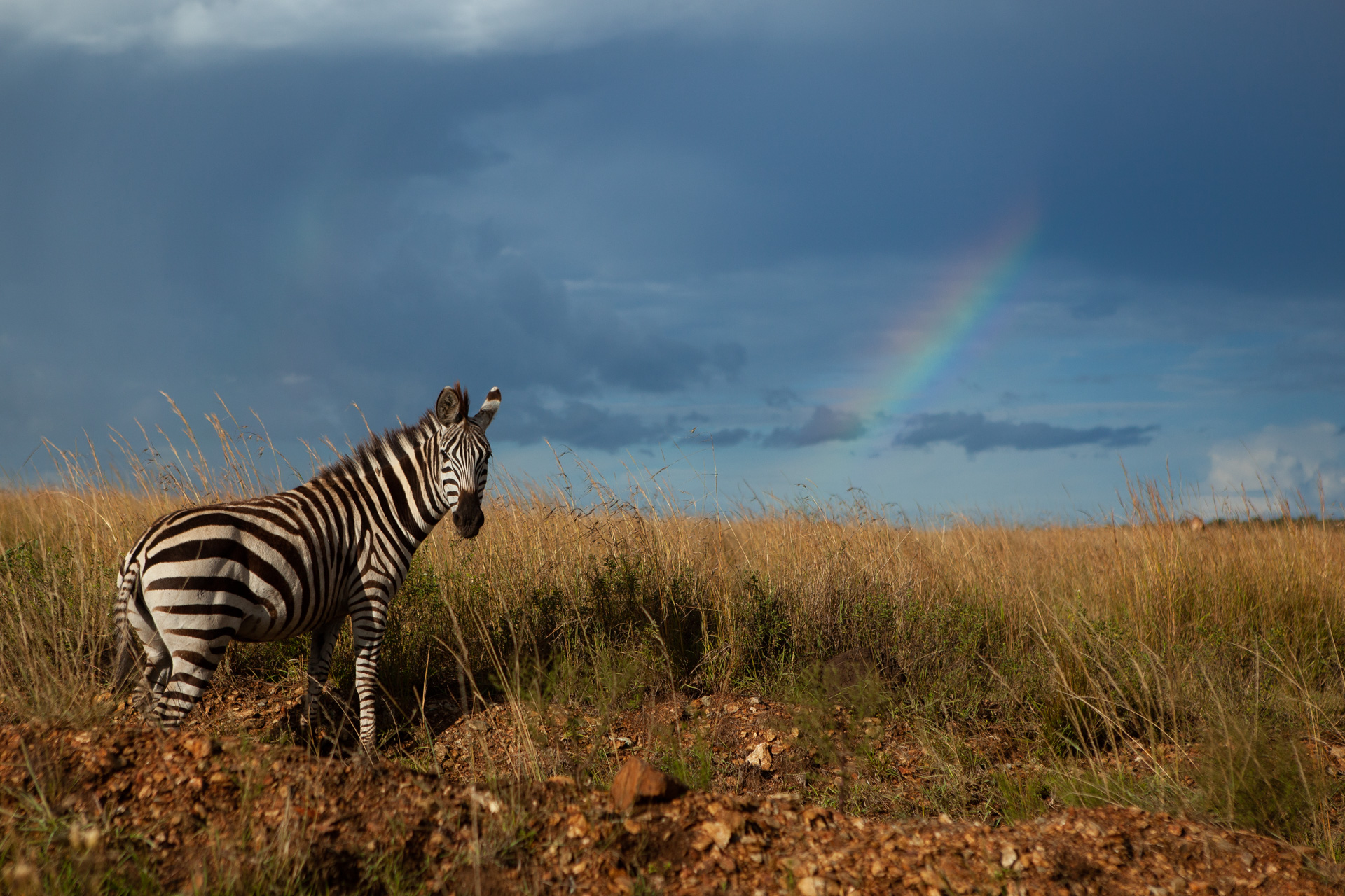 Zebra and rainbow