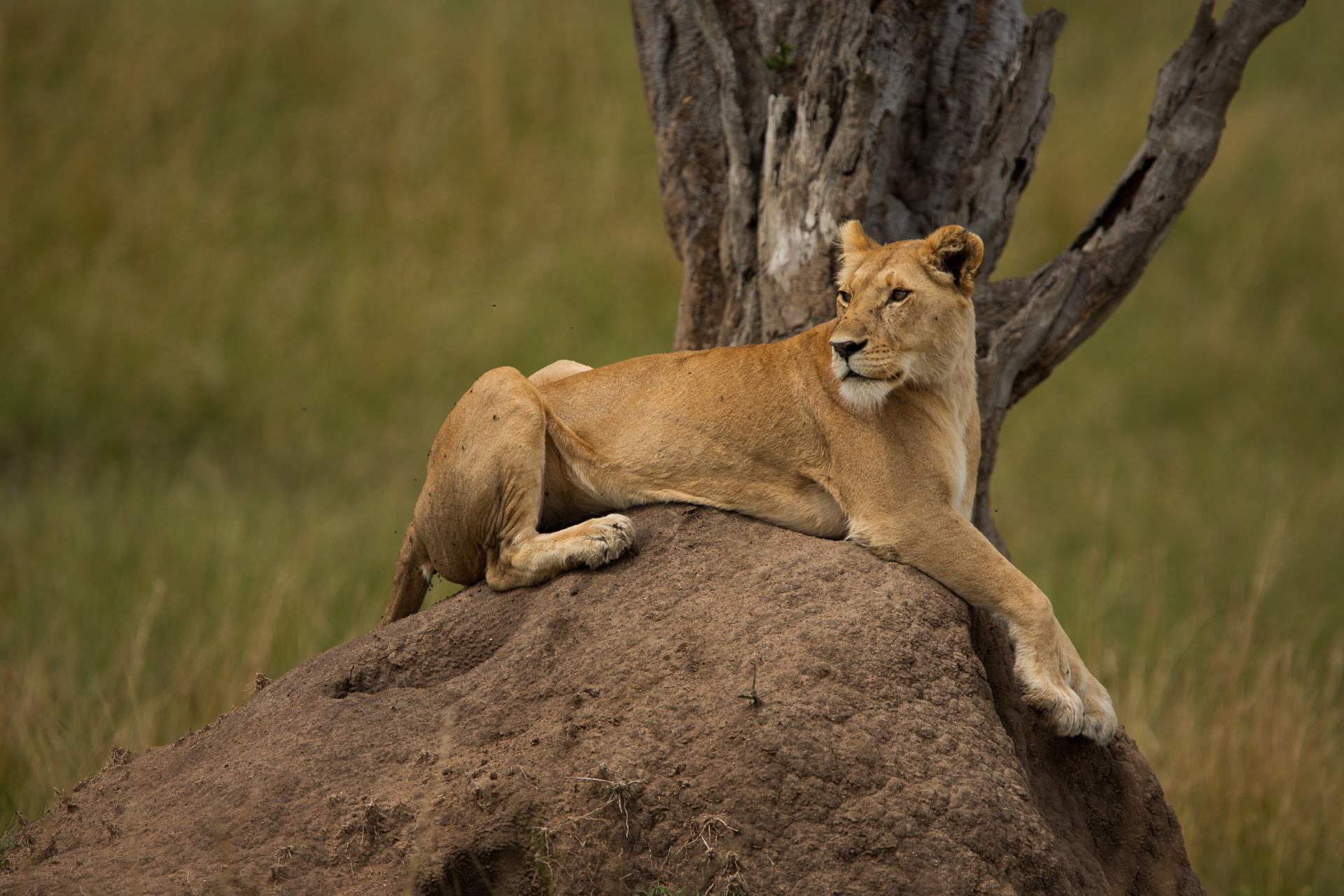 Lioness on mound