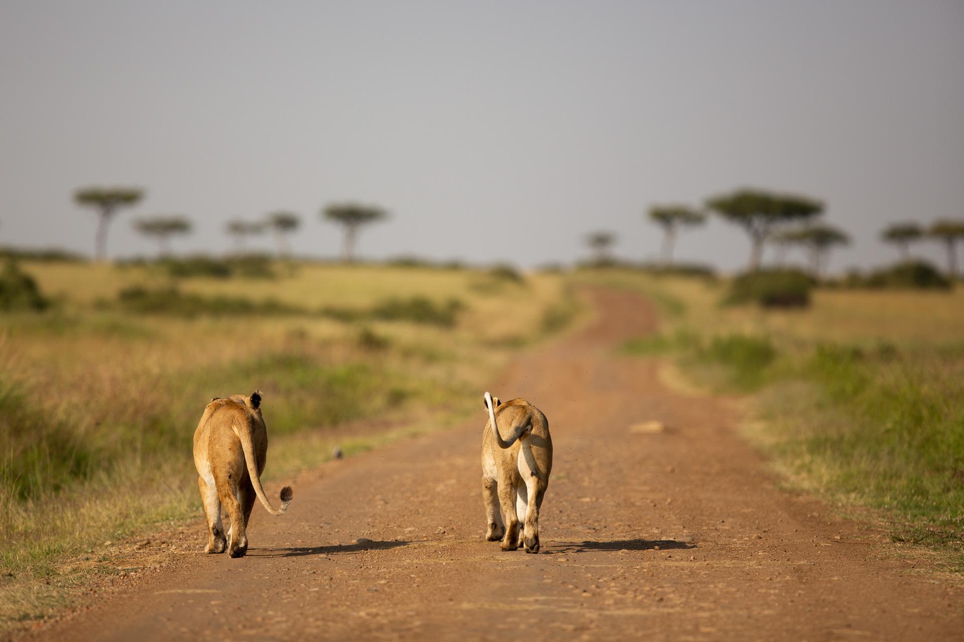 lions walking down road