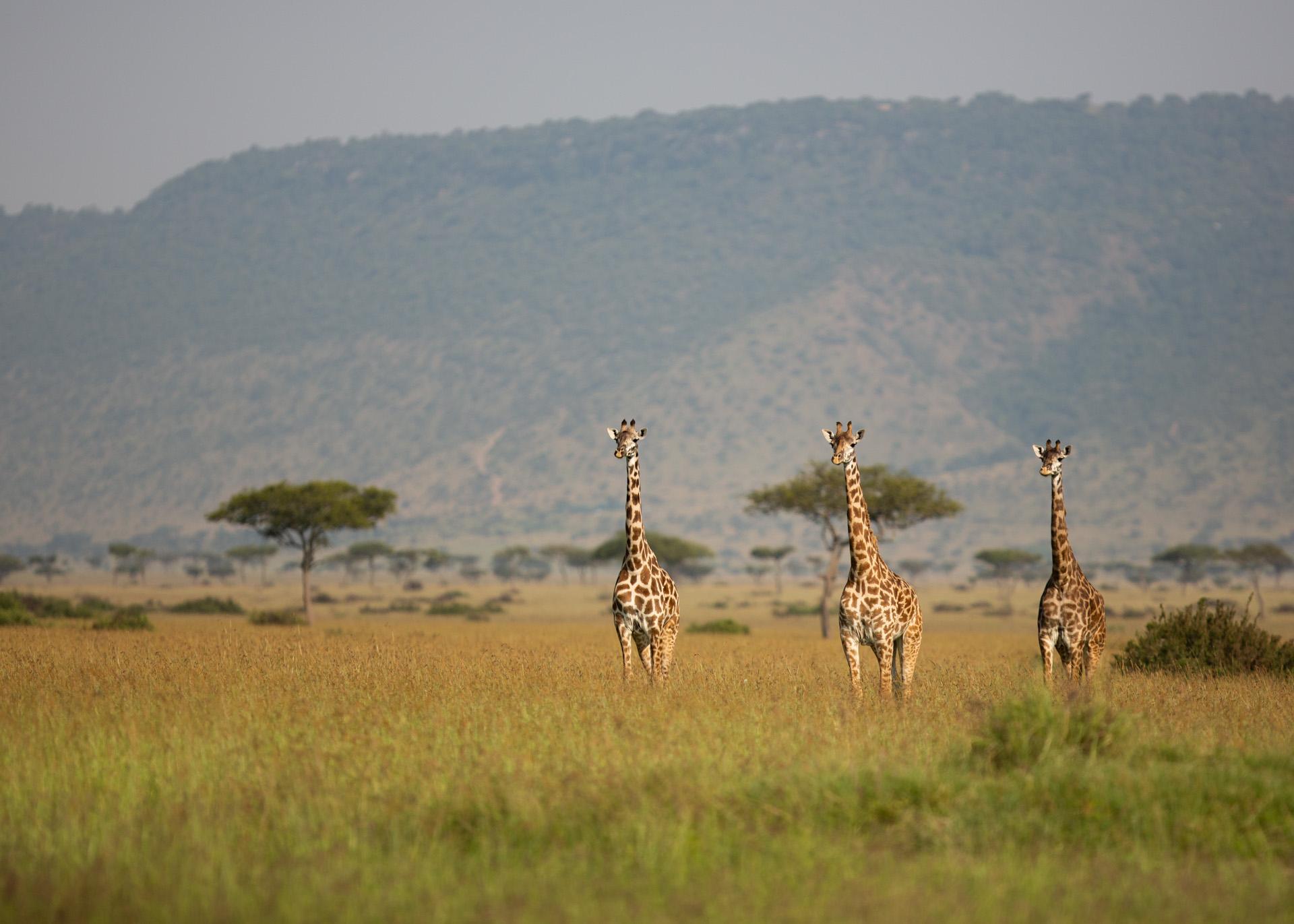 giraffe with escarpment