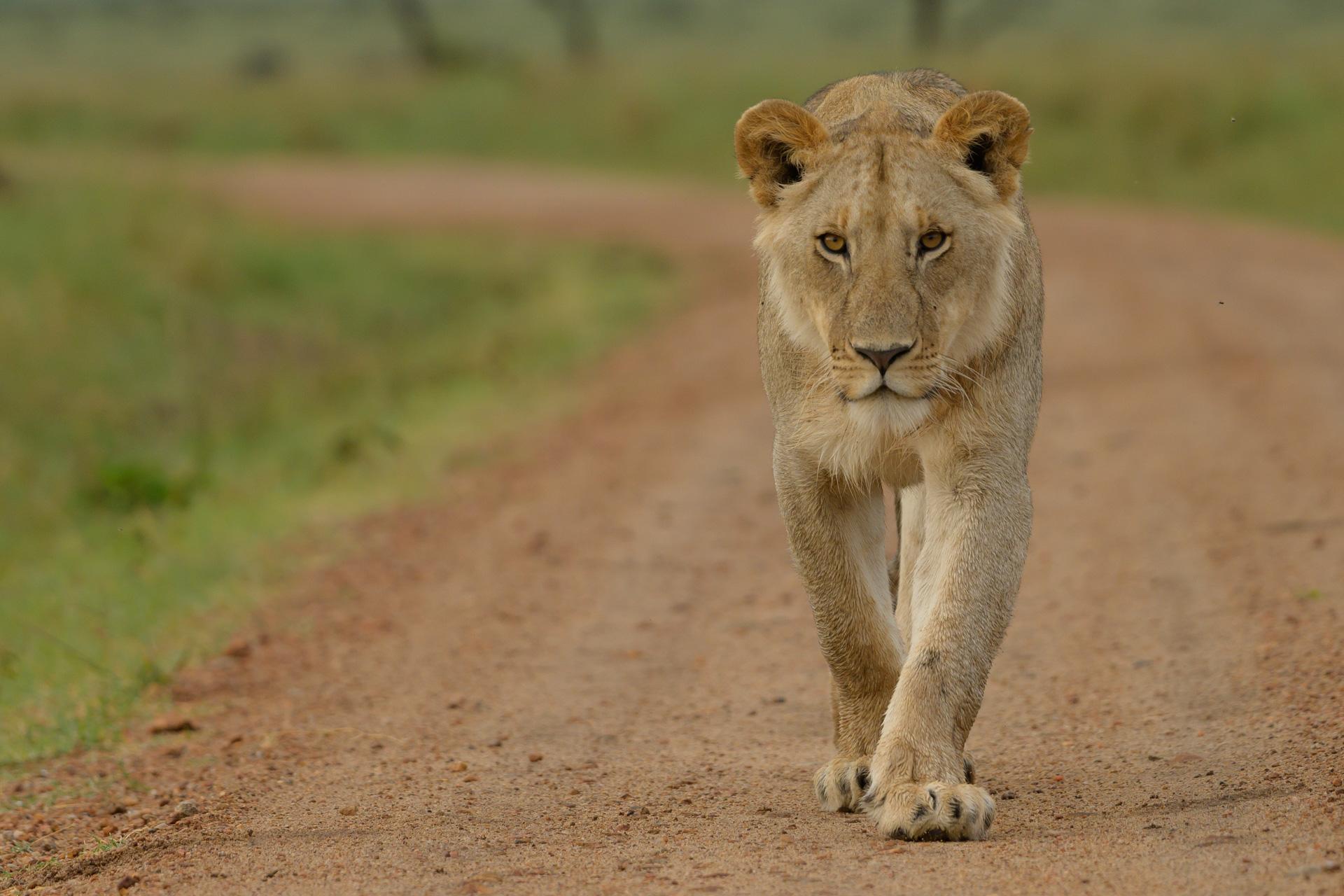 lion walking to camera