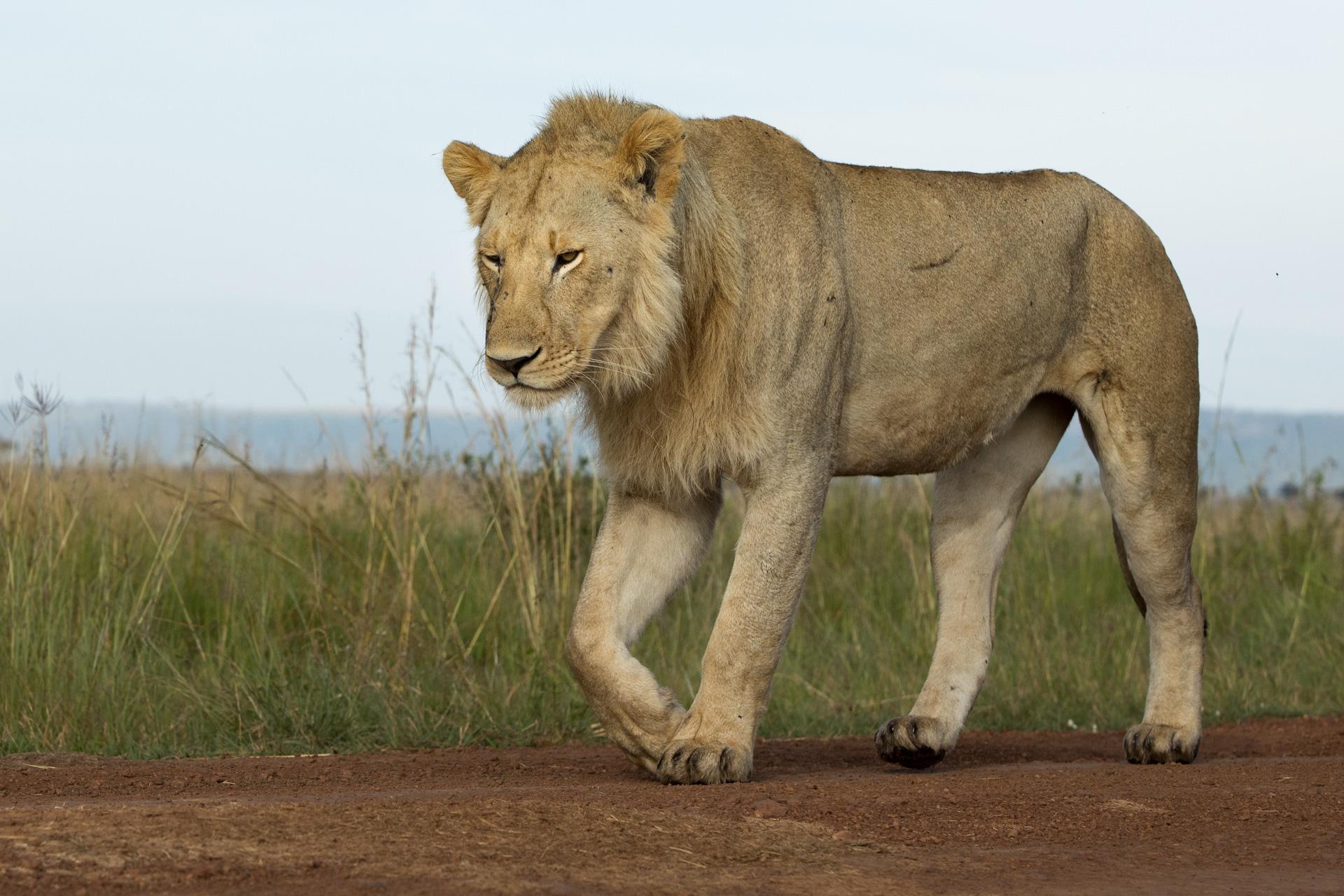 lion low