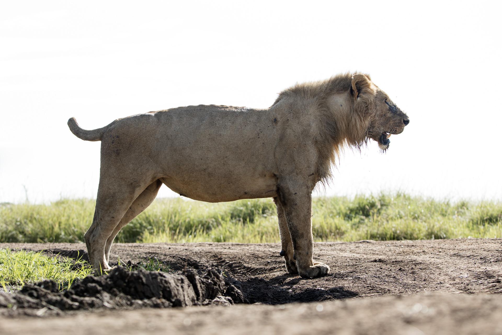 Short tail lion