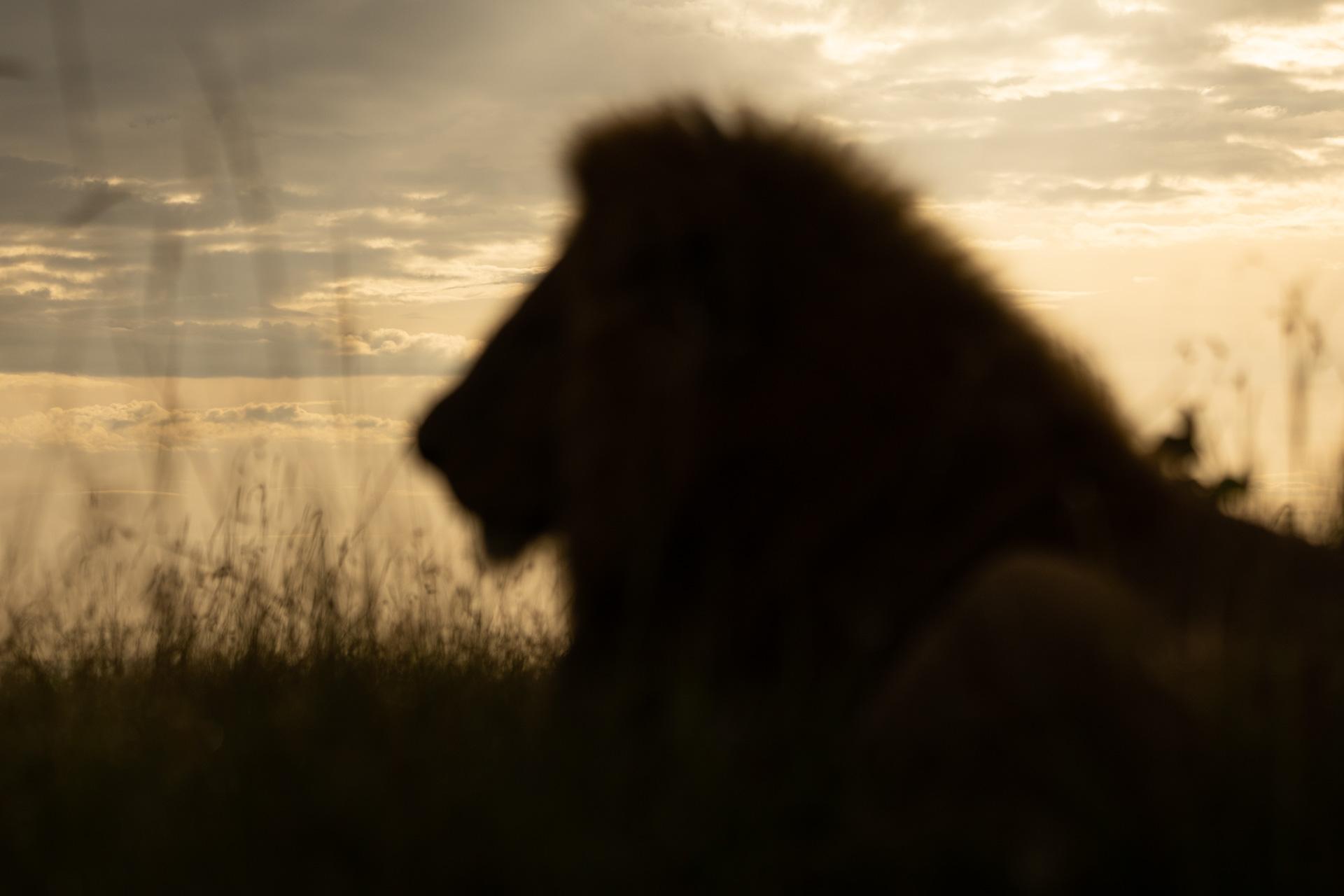 ABW__EW_5165 Lion head blur