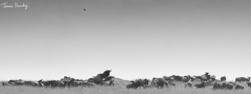The endless migratory herds in the Mara Triangle