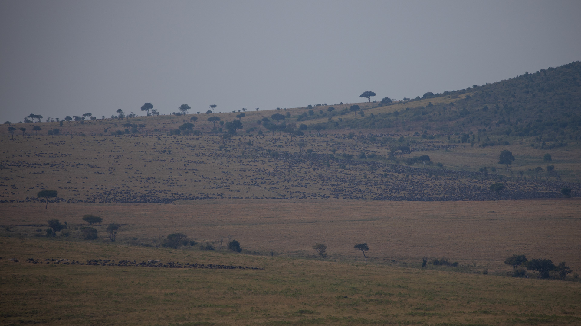 wildebeest from afar