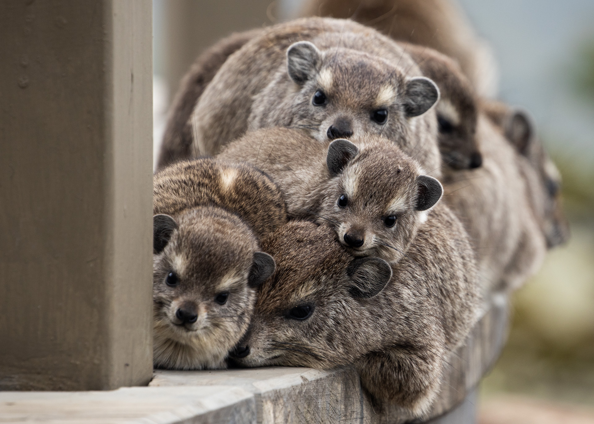 Rock Hyrax cuddle