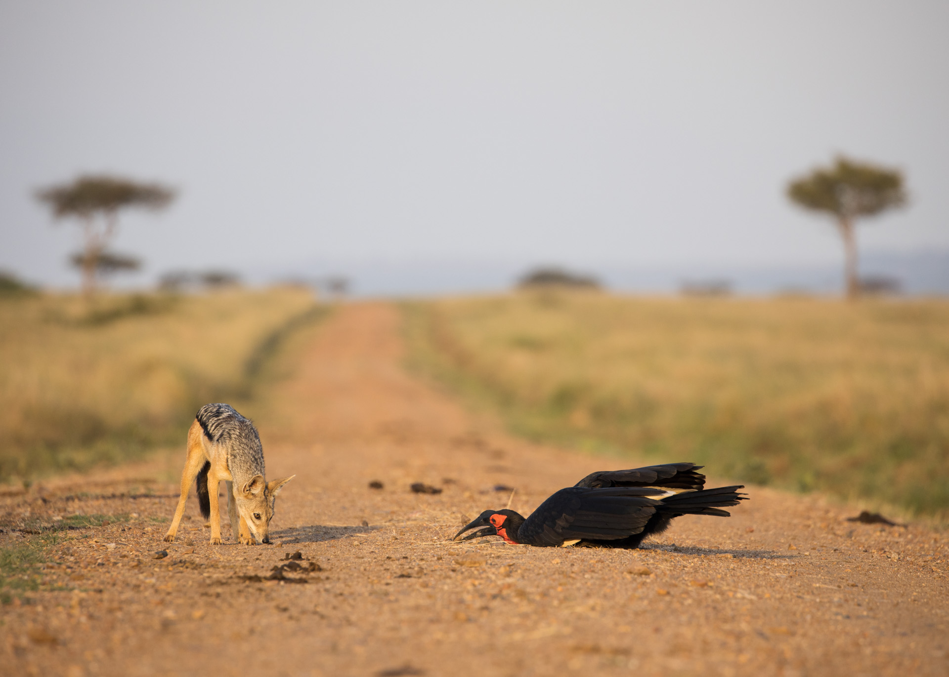 Jackal and hornbil 1