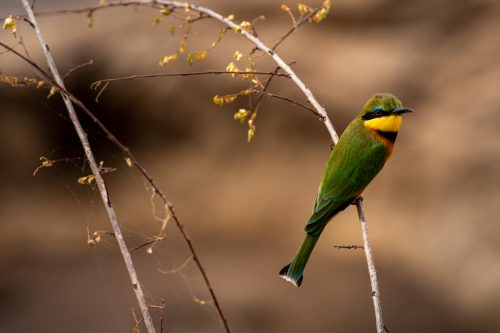 A little bee-eater perches  momentarily before taking off