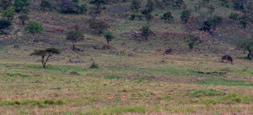 Oribi graze on the plains of the Maasai Mara