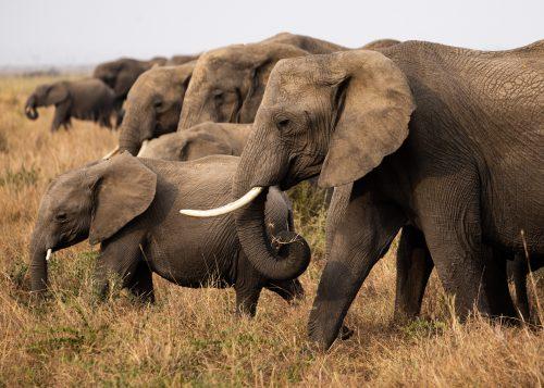 A family of elephant graze together