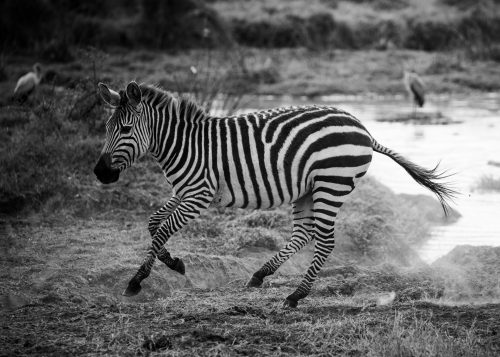 Zebras make for the perfect black-and-white conversions