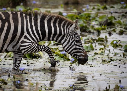 Zebra drinking in a tranquil pond