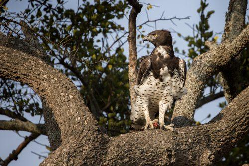 A martial eagle enjoys an early morning meal