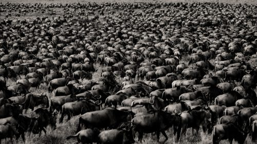 Staggering numbers of wildebeest are currently in the central parts of the Mara Triangle