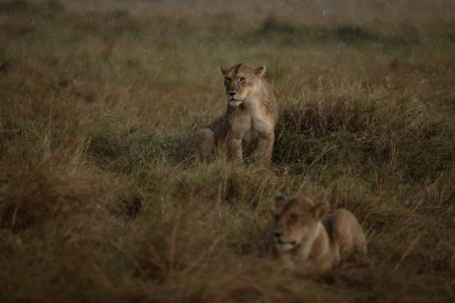 Two lionesses from the Owino Pride sitting out a rainstorm