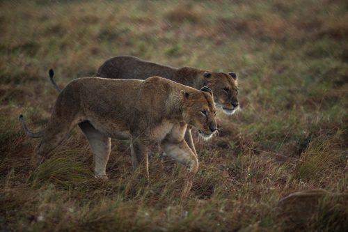 Lionesses endure the elements together
