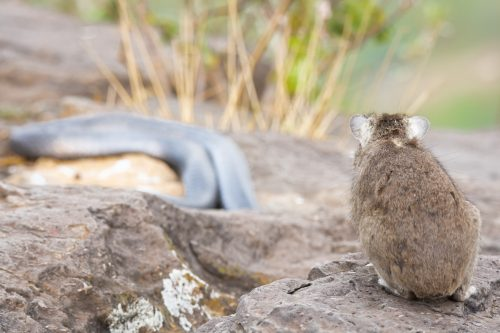 A hyrax stands its ground as a spitting cobra retreats into the warmer rocks