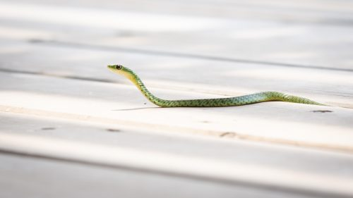 A spotted bush snake in search of a meal