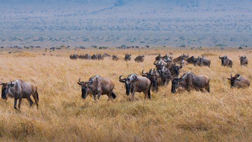 A herd of wildebeest marching in an orderly fashion across the plains