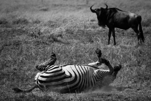 A zebra rolls in the dust with the likely purpose of removing parasites