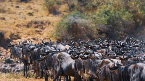 A pause, as the herd encounters its main obstacle – the Mara River
