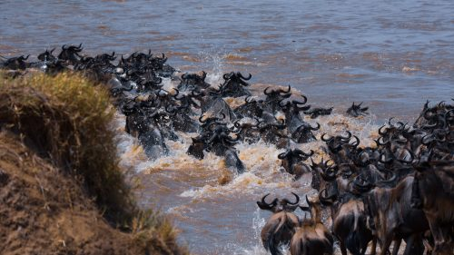 The waters churn as the first group of gnus take the plunge