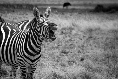 A zebra exhibits the flehmen response