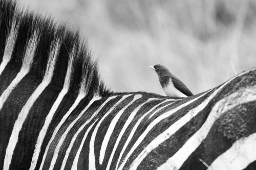 Zebras and oxpeckers enjoy a symbiotic relationship – oxpeckers stay well-fed while keeping zebra parasite free
