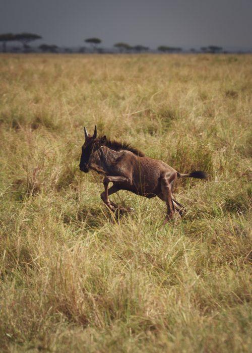 A lone wildebeest caught unaware
