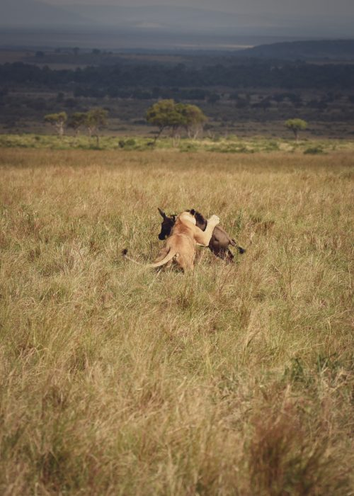 A lioness pursues a lone wildebeest at pace