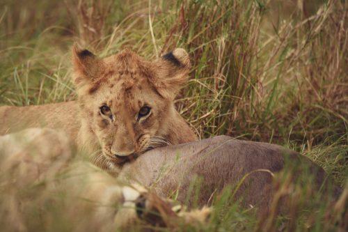 A lion cub nibbles on a fresh kill