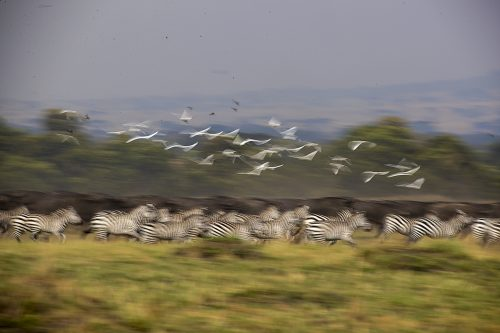 A herd of zebra on the move