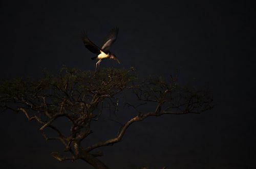 A marabou stork takes flight