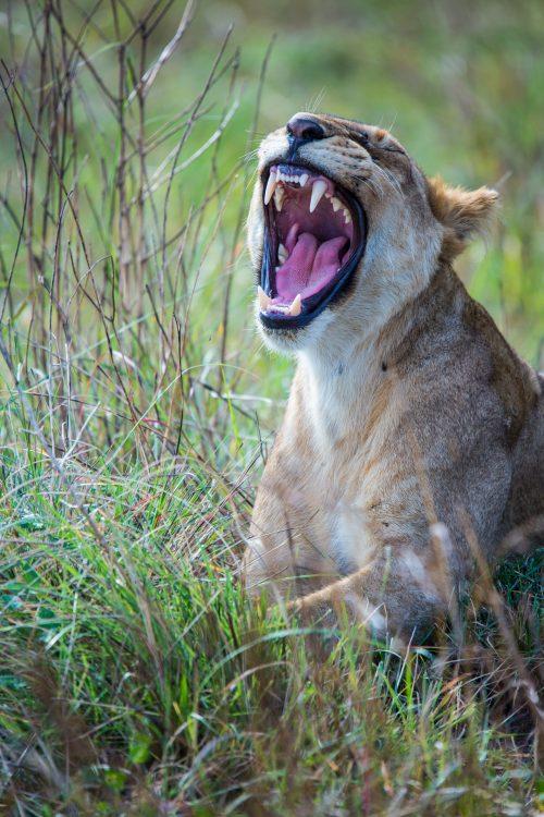A morning yawn