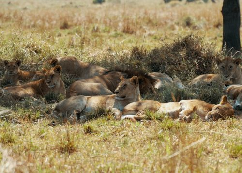 Lions doing what they do best...snoozing