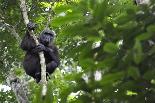 A mountain gorilla in a forest in the Congo