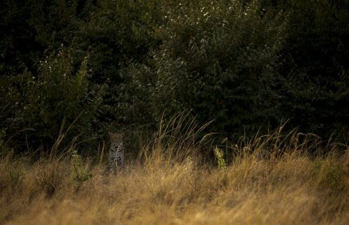 A female leopard stares out at us from the safety of the thicket