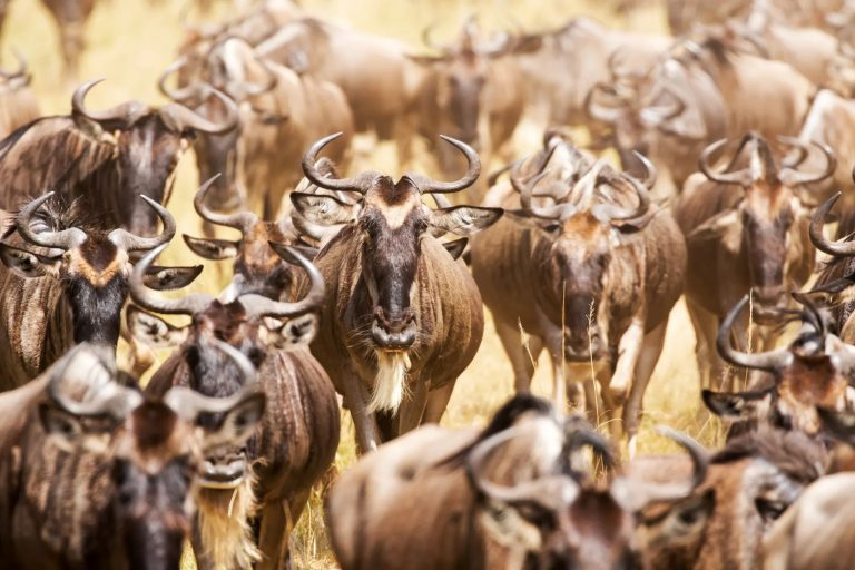 an implausibility of wildebeest