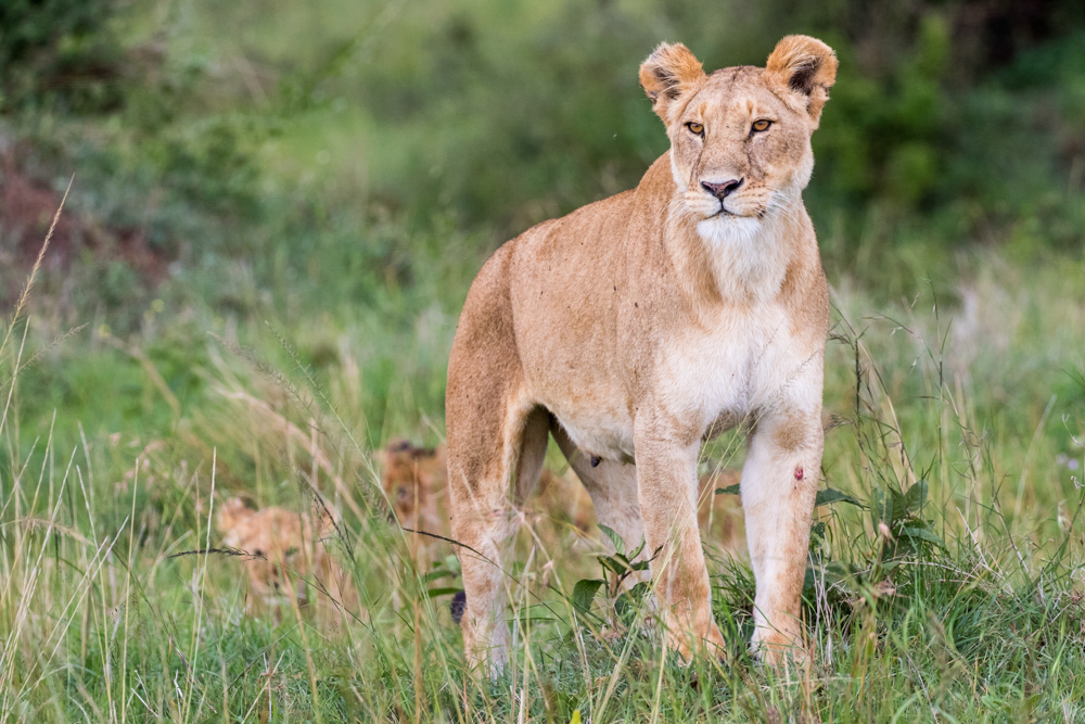 Protecting her cubs